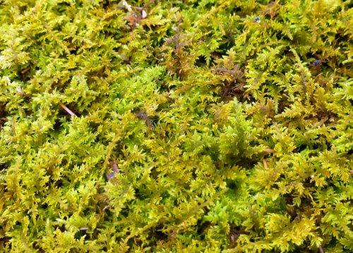 2. Delicate Fern Moss