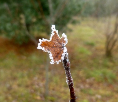 2. Frosty Leaf