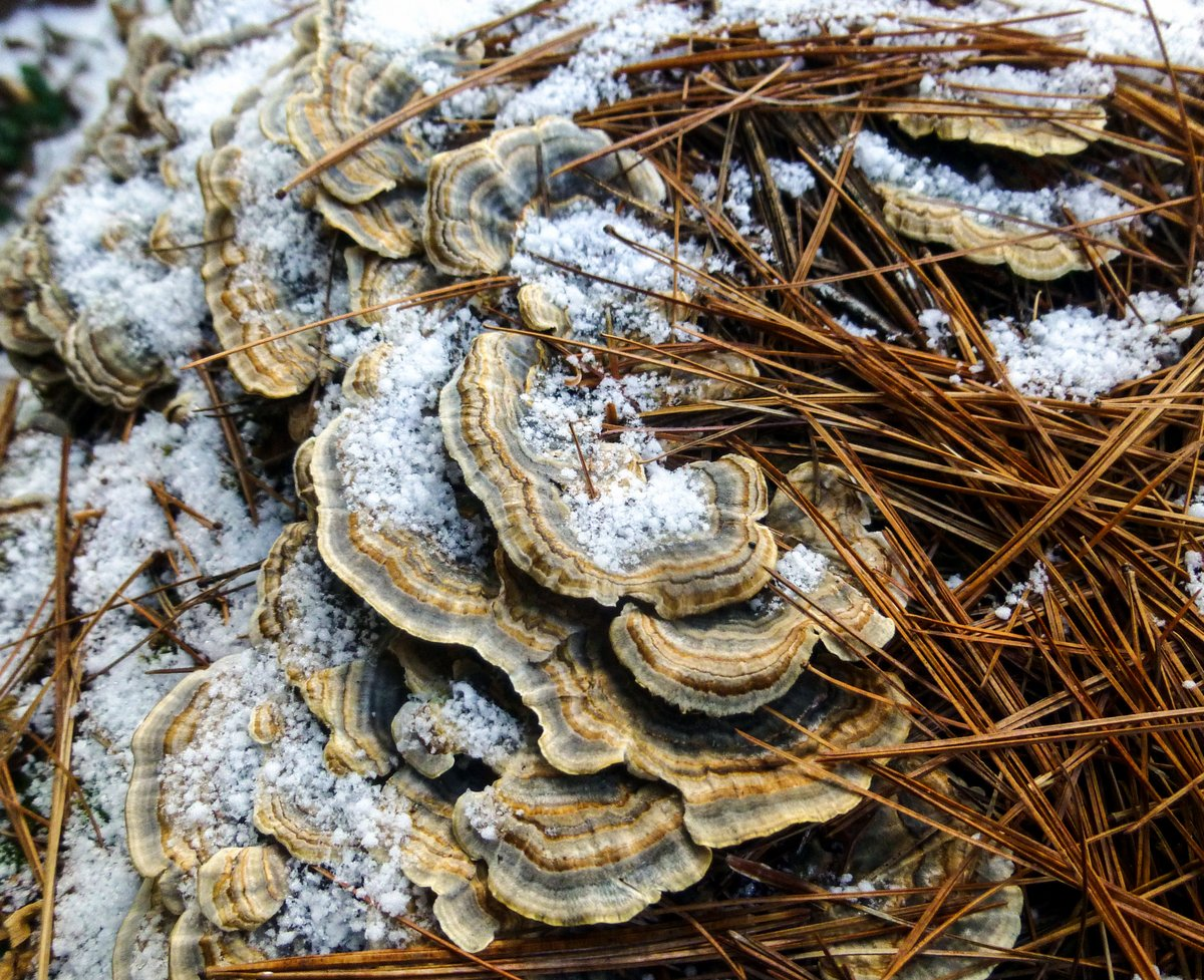 2. Snowy Turkey Tails