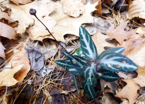 2. Striped Wintergreen