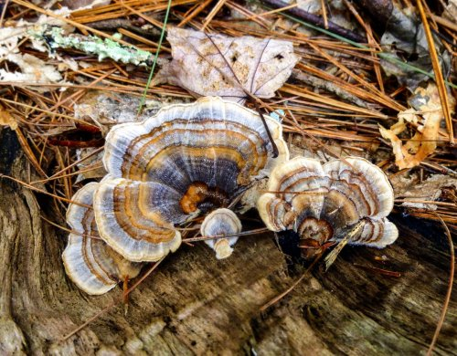 4. Blue and Orange Turkey Tails