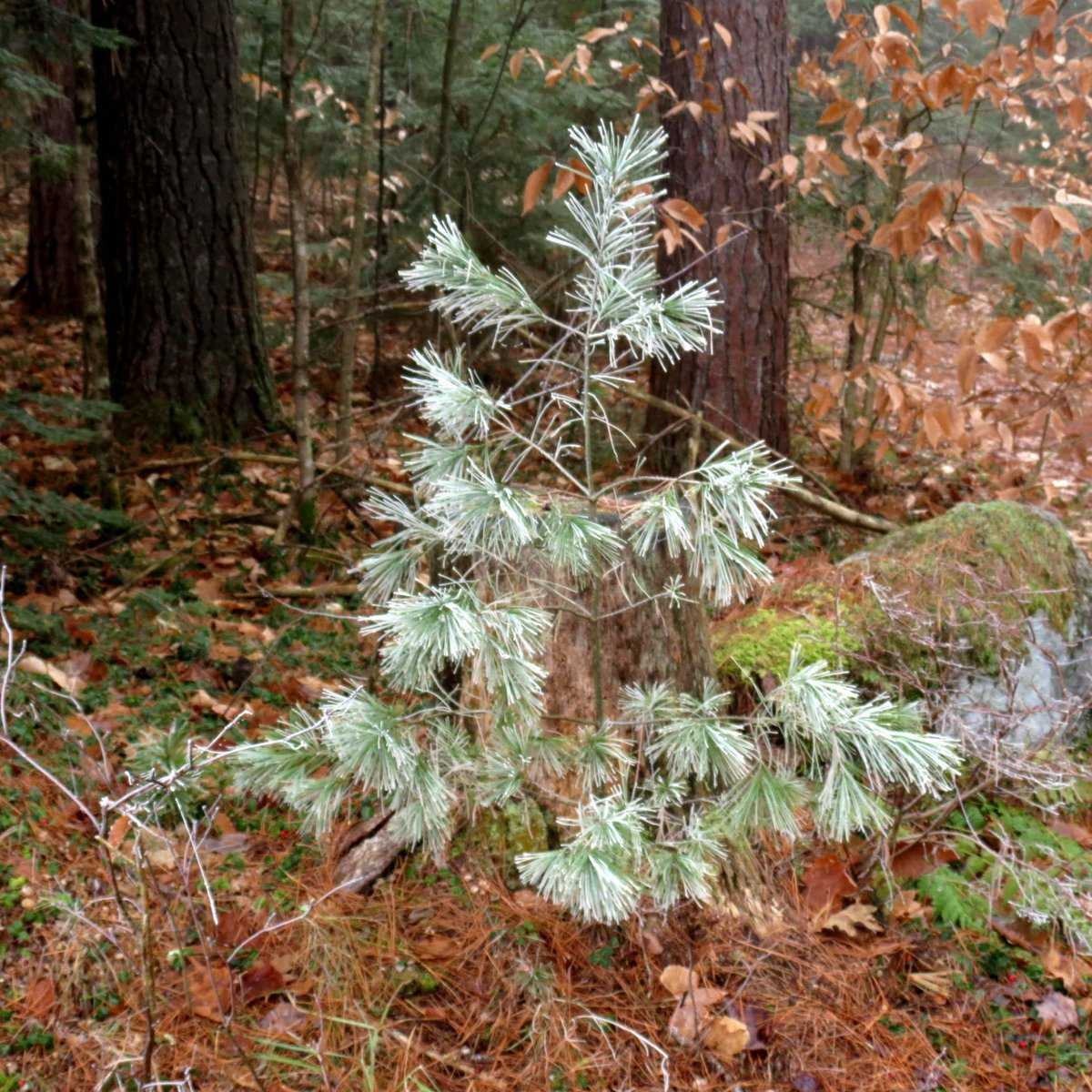 5. Frosted White Pine