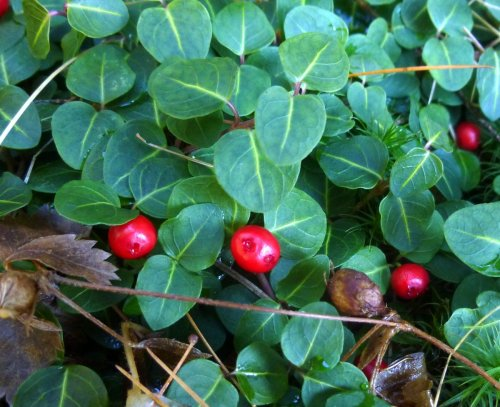 5. Partridge Berry