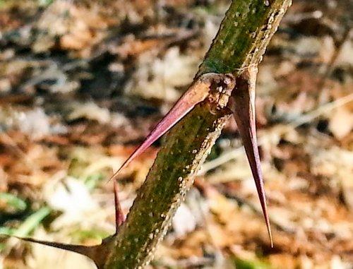 8. Black Locust