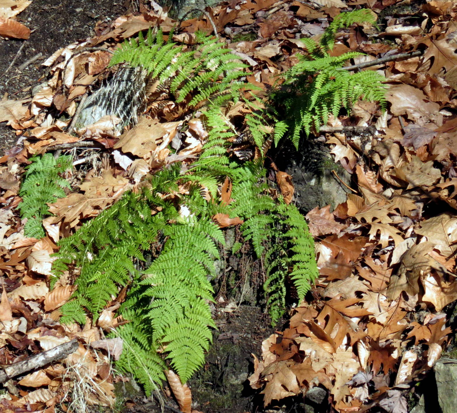 9. Intermediate Wood Fern