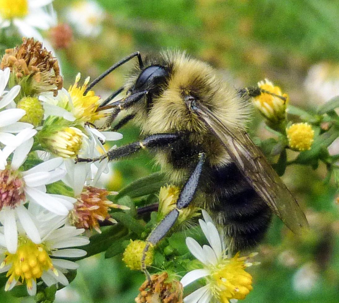 10. Bumblebee on Heath Aster OCTOBER