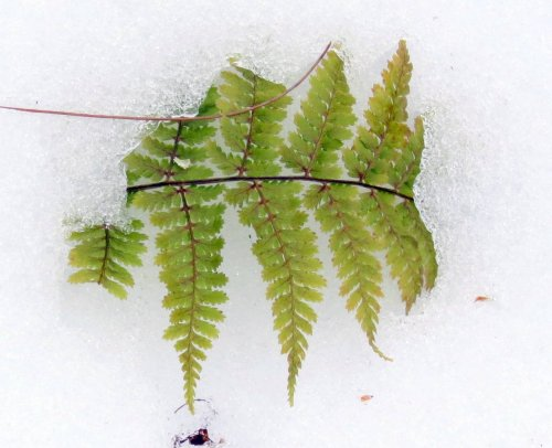 10. Fern in Snow