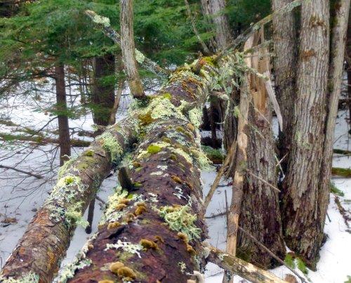 11 Fallen Tree