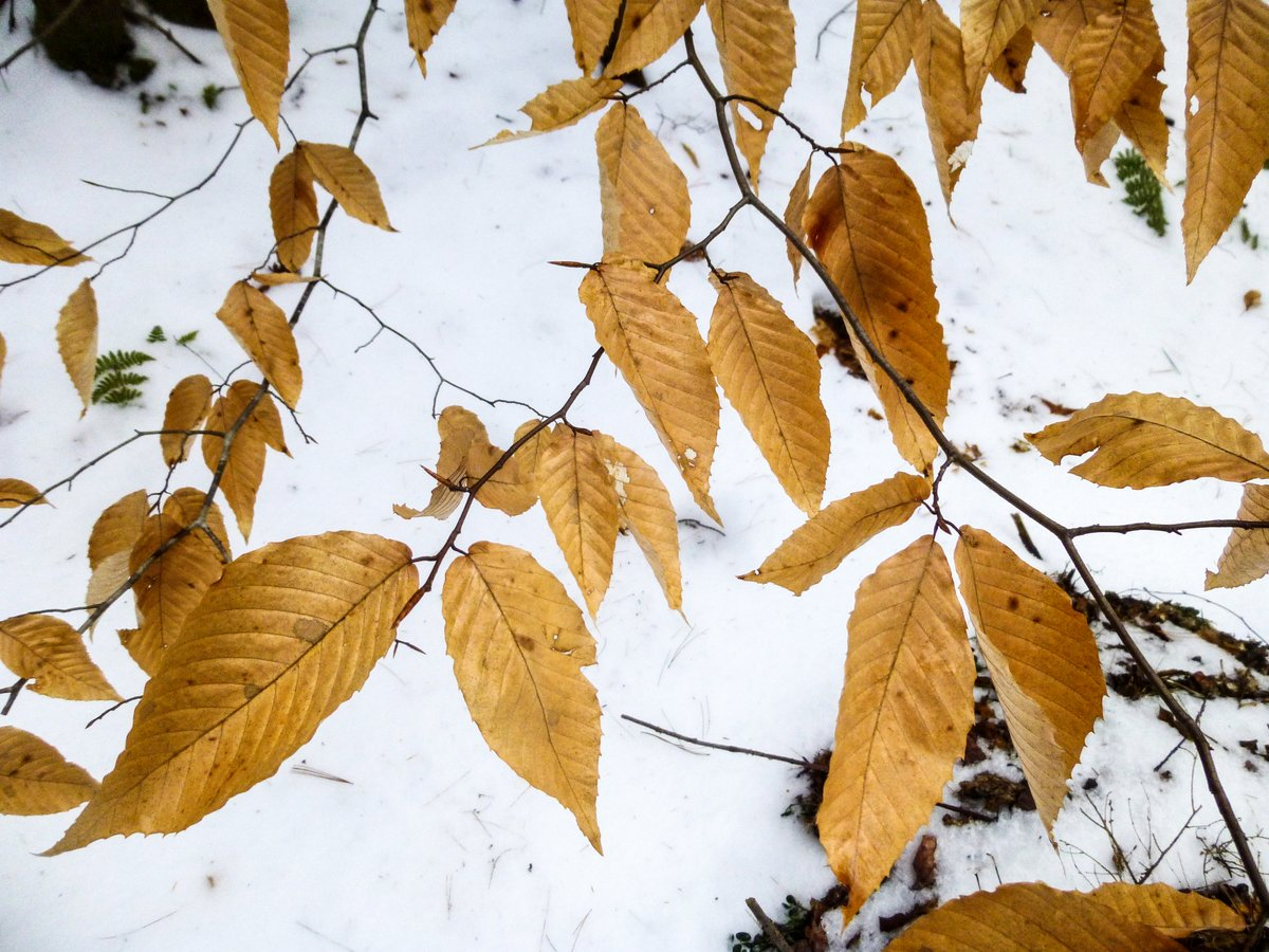 12. Beech Leaves
