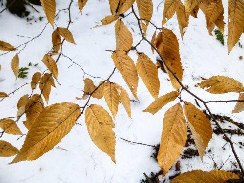 12. Beech Leaves