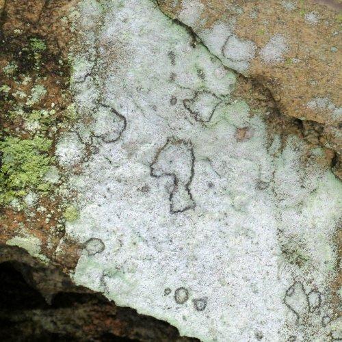 12. Crustose Lichen