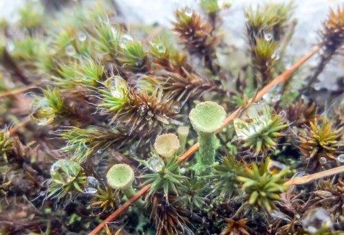 12. Pixie Cup Lichen