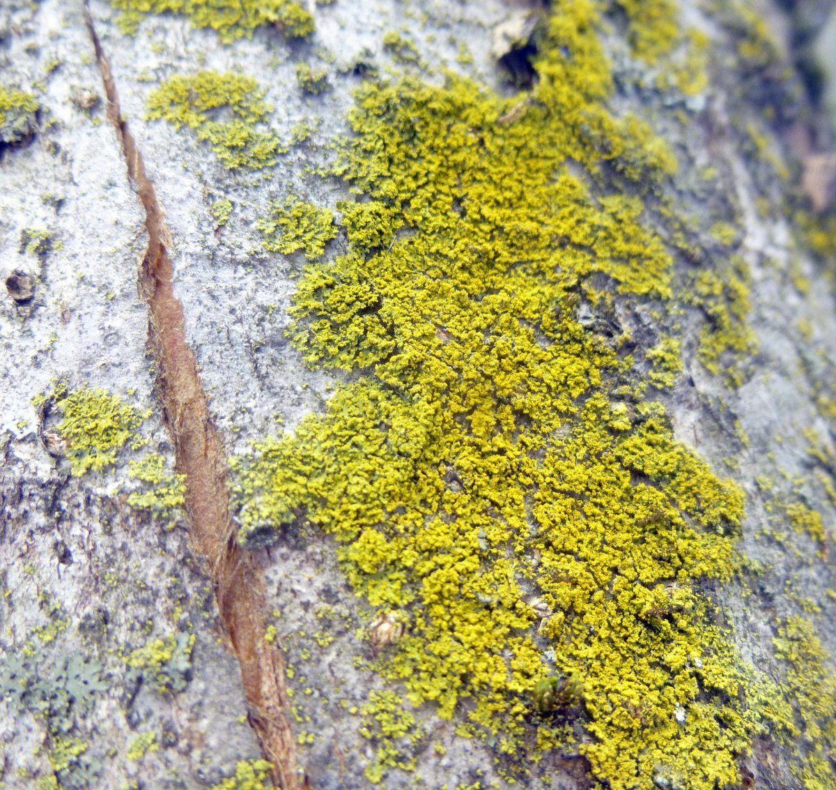 13. Candle Flame Lichen