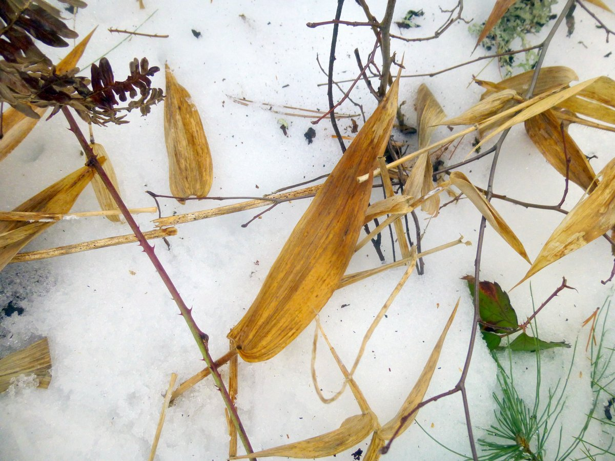13. Deer Tongue Grass