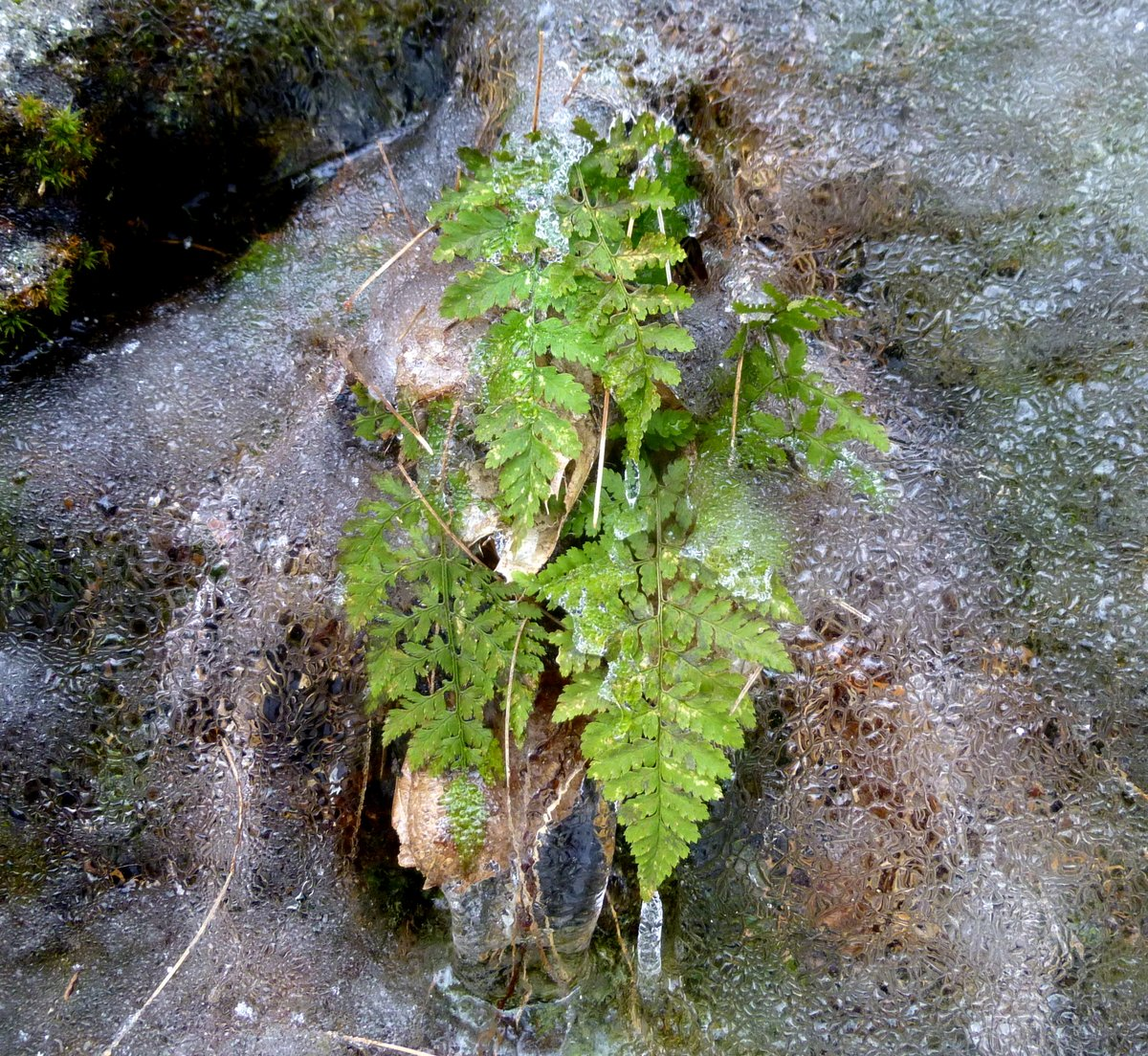 13. Fern in Ice