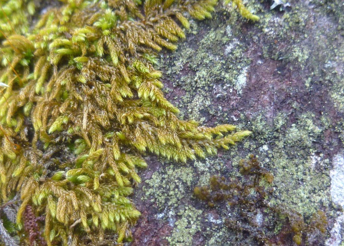 14. Lesser Plait Moss