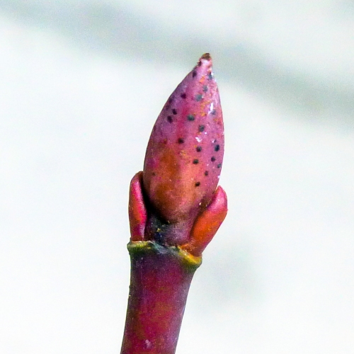 14. Striped Maple Buds