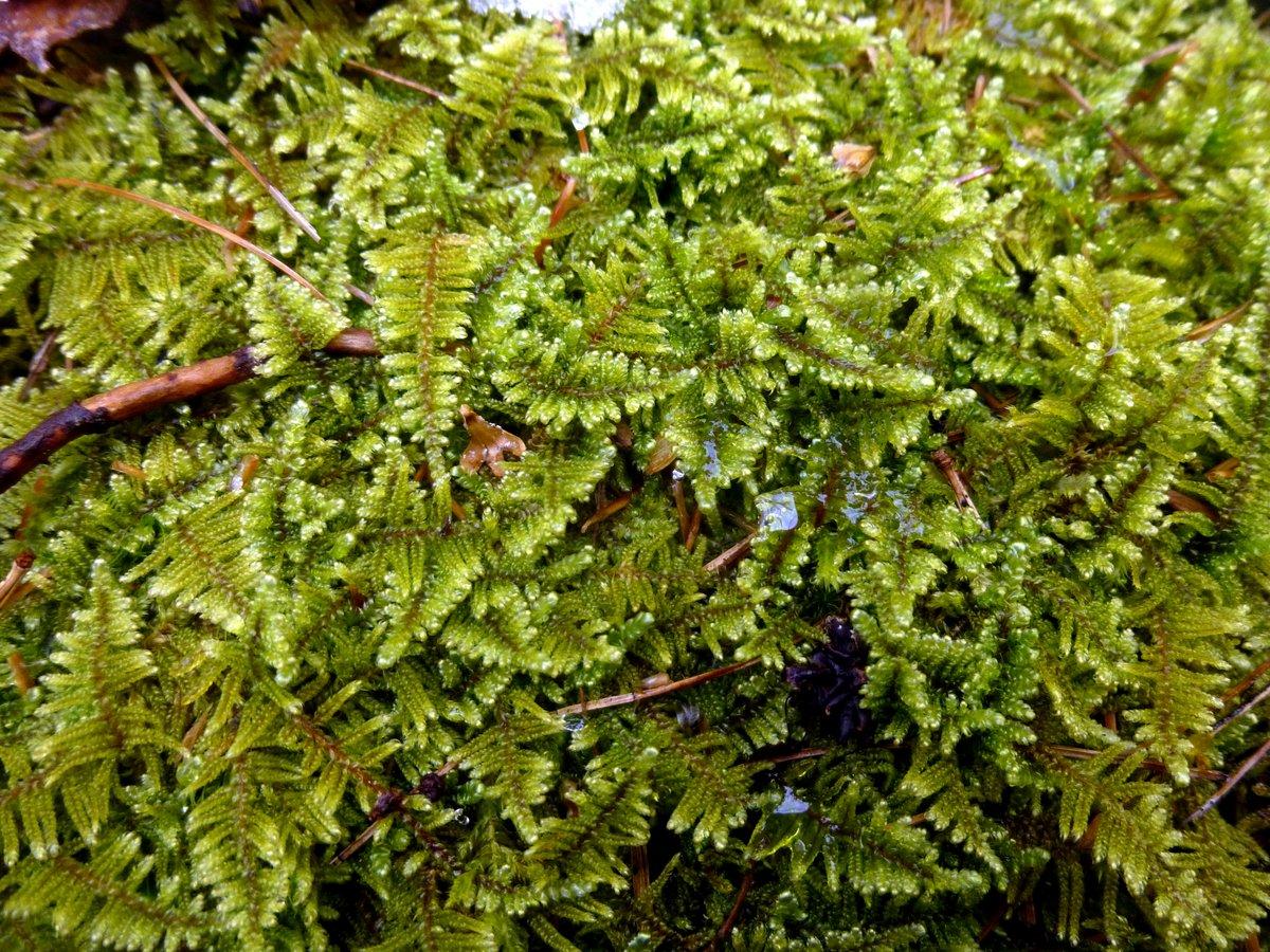 15. Brocade Moss