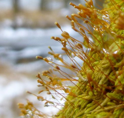 15. Lesser Plait Moss Capsules 1