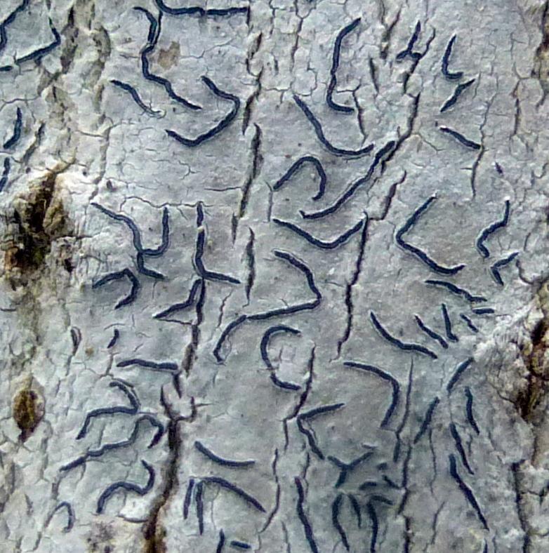 16. Script Lichen