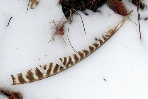 16. Turkey Feather