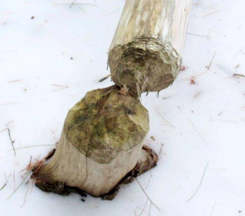 4. Beaver Tree