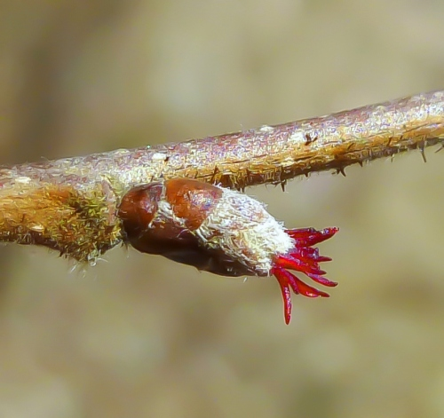 4. Female Hazel Blossom APRIL