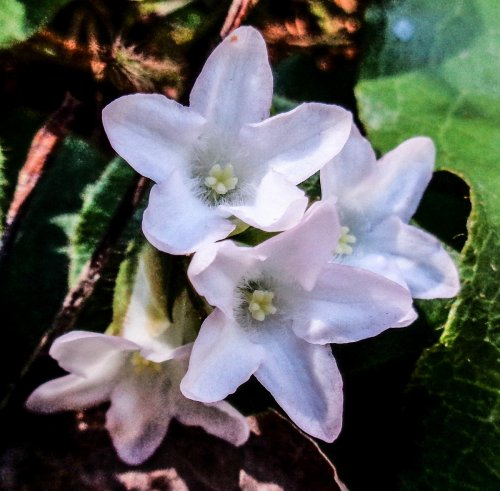 5.2 Trailing Arbutus MAY