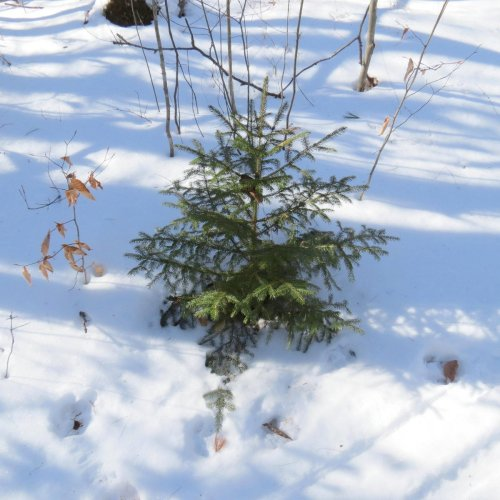7. Small Spruce