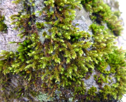 7. White Tipped Moss on Stone Wall