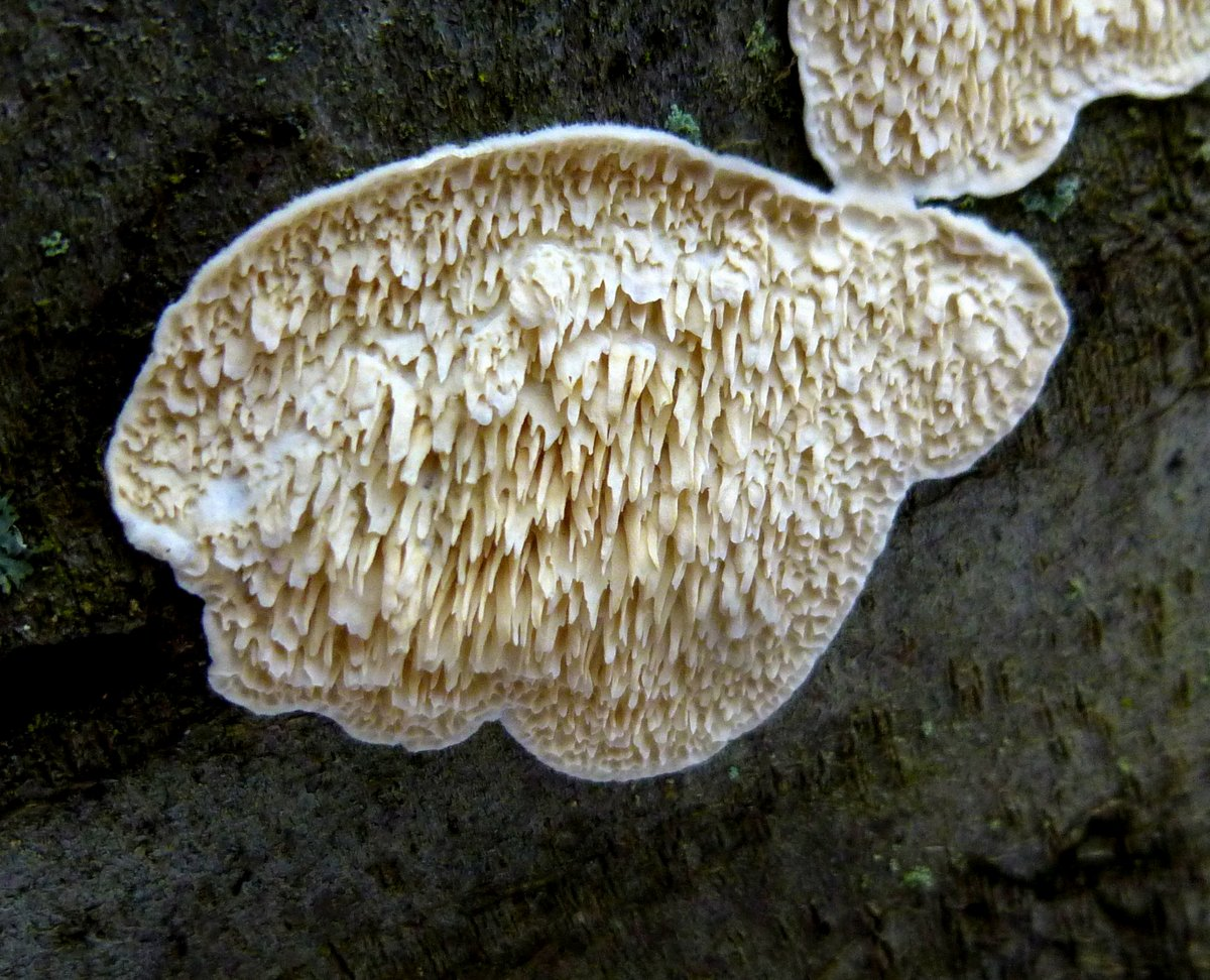 8. Milk White Toothed Polypore