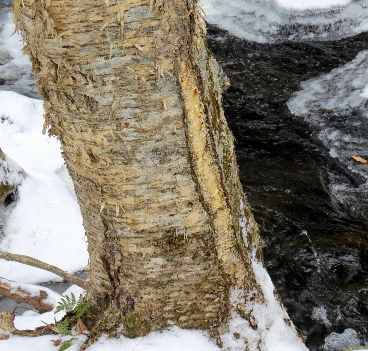 9. Frost Crack on Birch