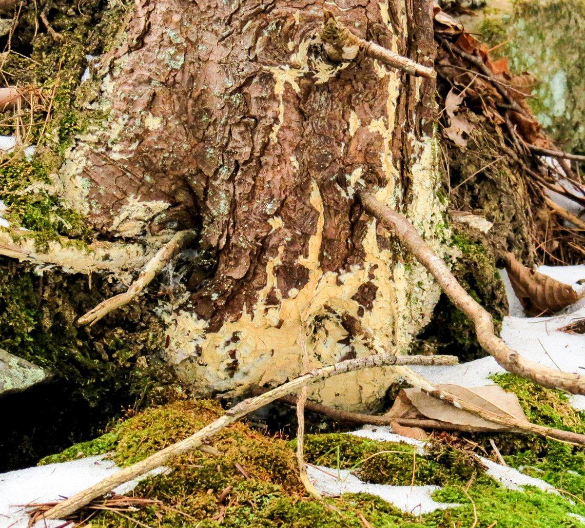 9. Yellow Crust Fungus on Hemlock