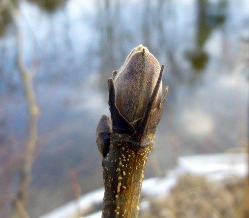 1. Shagbark Hickory Bud