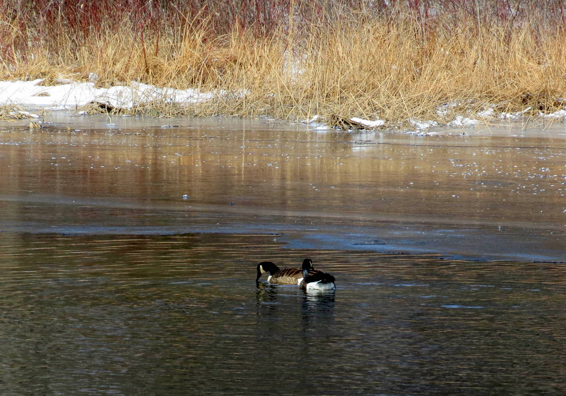 10. Canada Geese