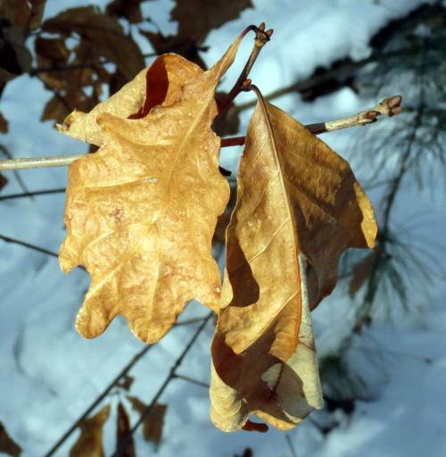10. Oak Leaves