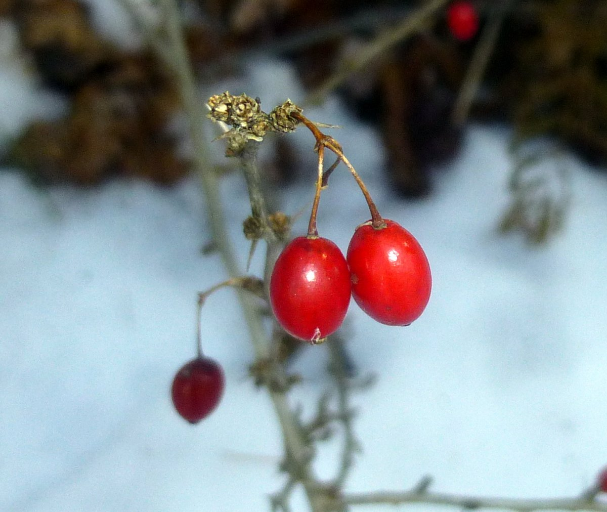 12. Barberry Berries
