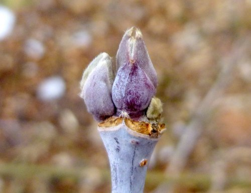 12. Box Elder Buds