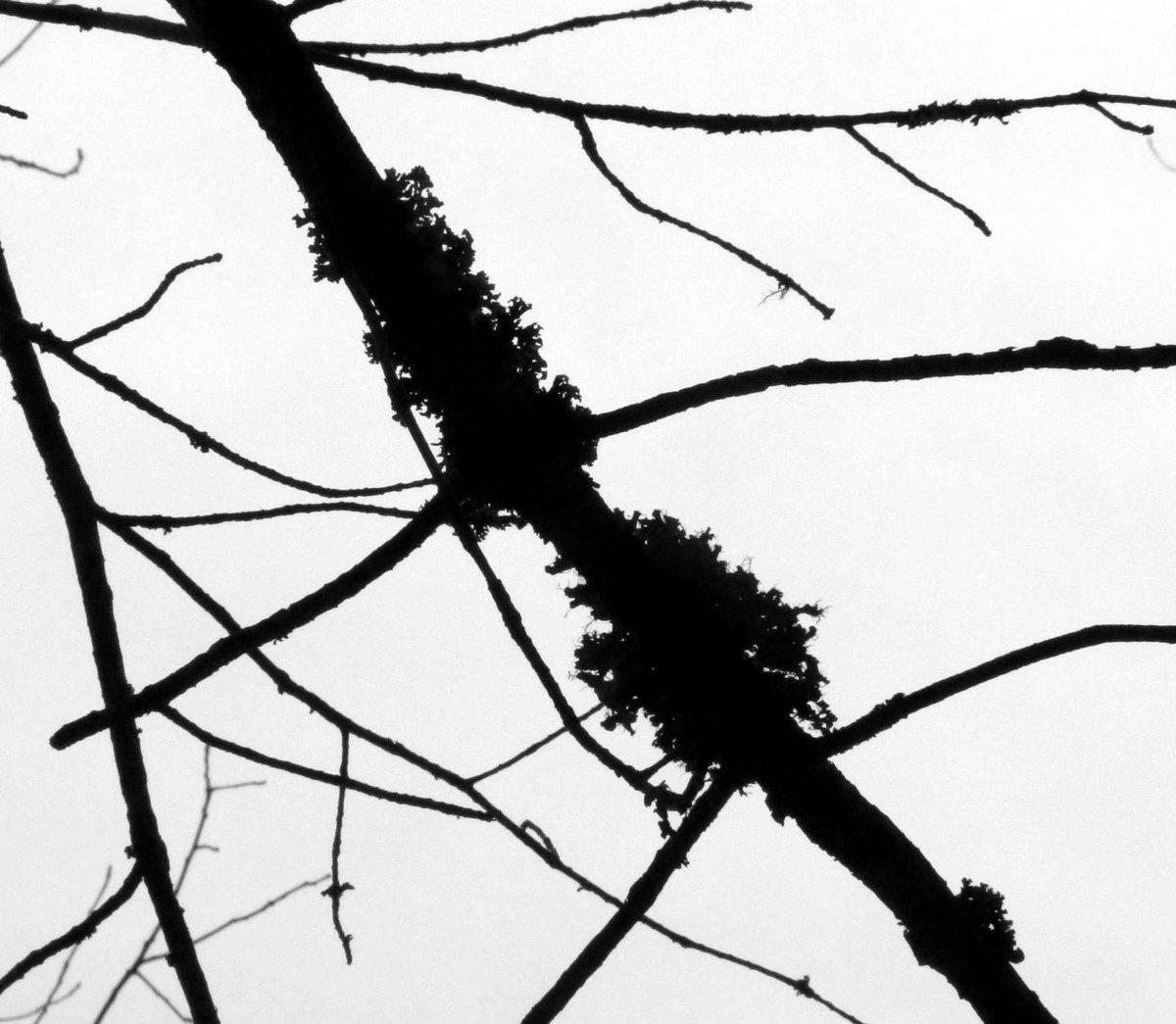 12. Foliose Lichens on a Branch