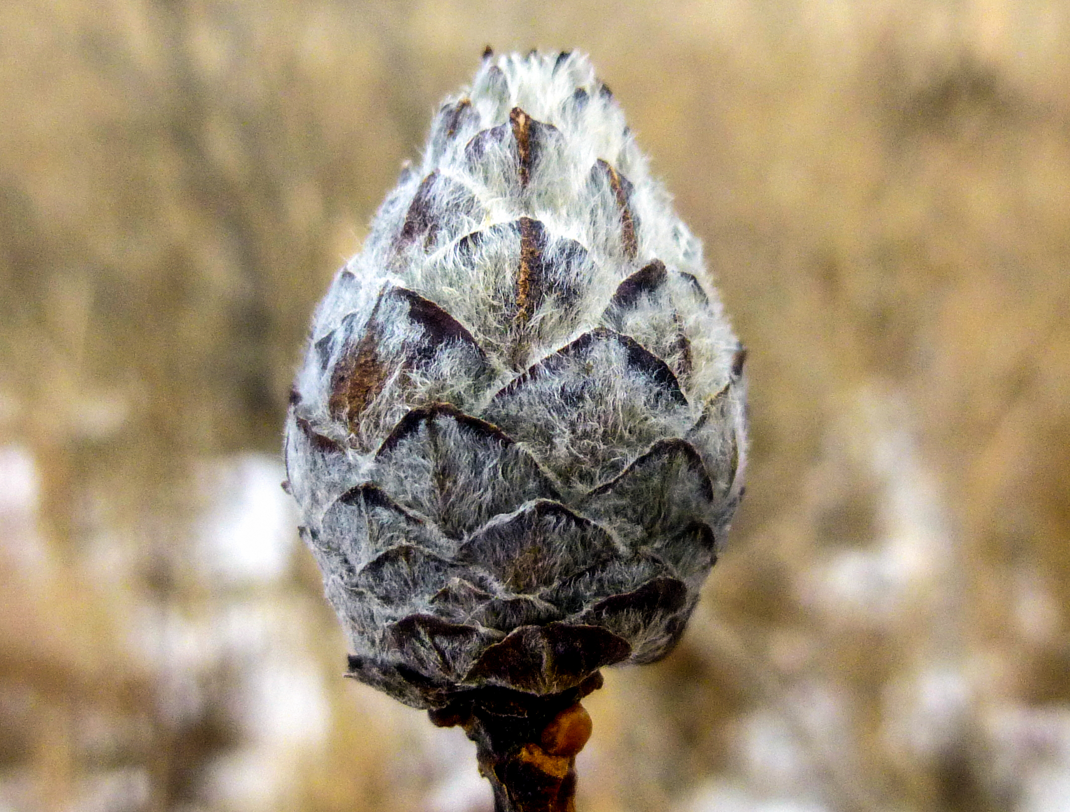 12. Pine Cone Gall on Willow