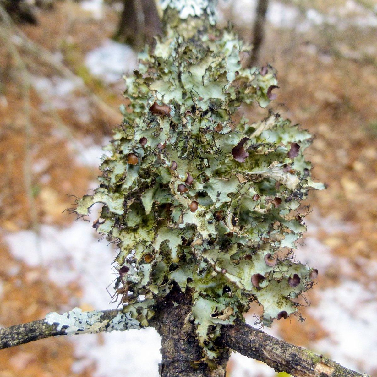 13. Northern Camouflage Lichen