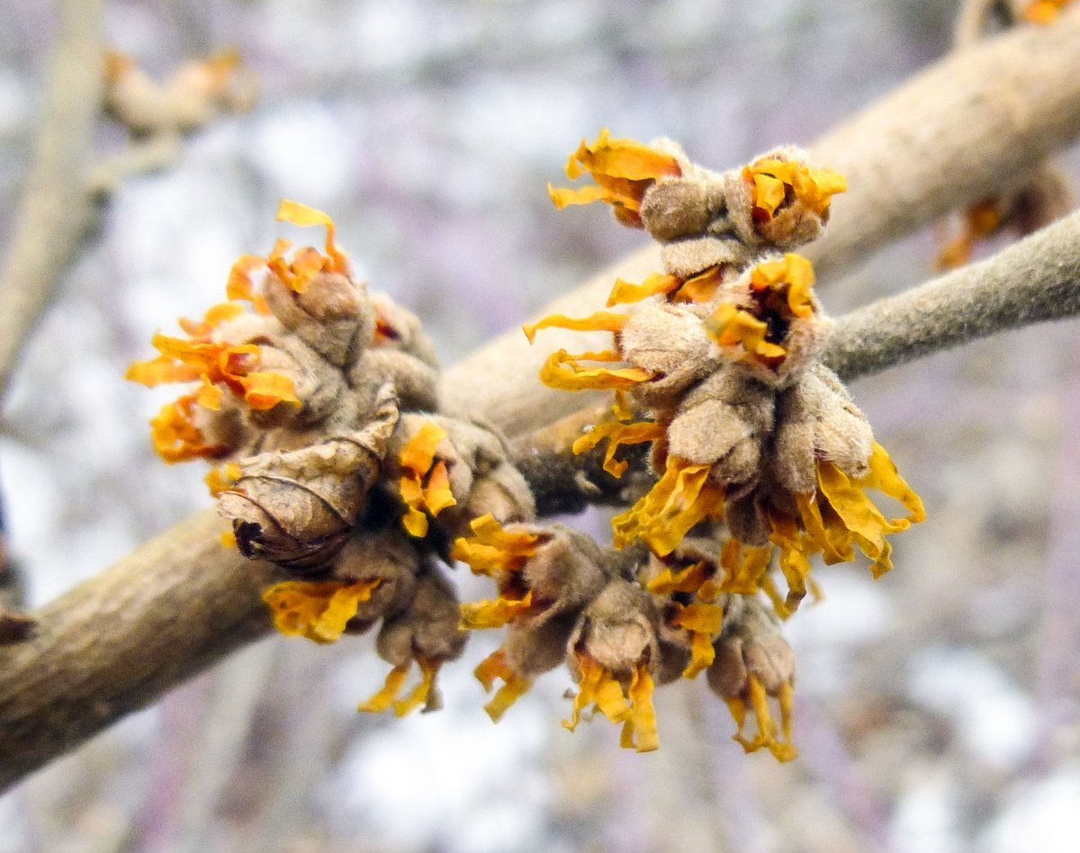 14. Witch Hazel Buds