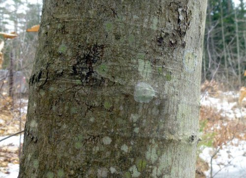 15. Maple Dust Lichen