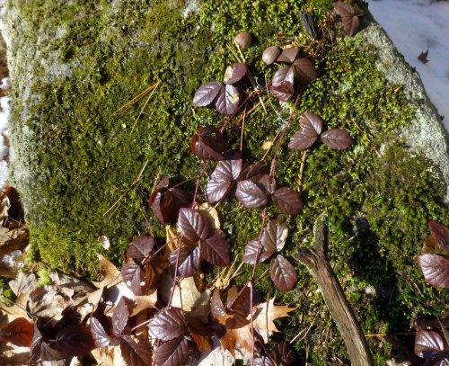 16. Swamp Dewberry