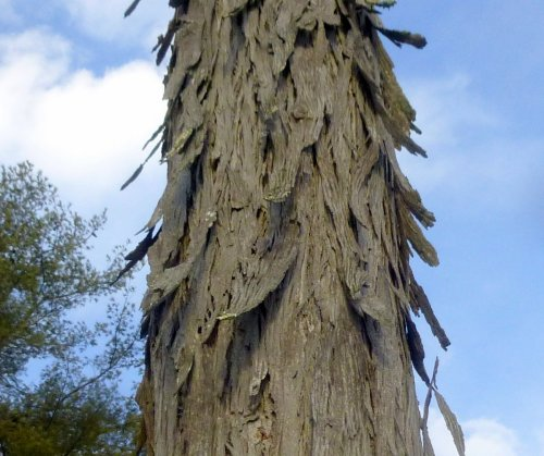 3. Shagbark Hickory Bark