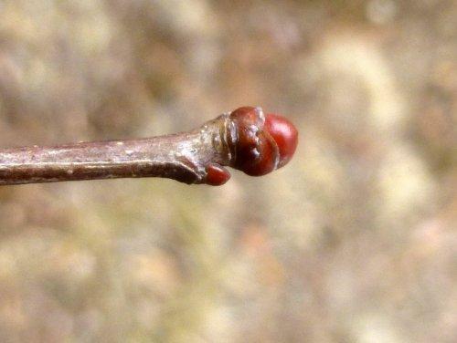4. Hawthorn Bud