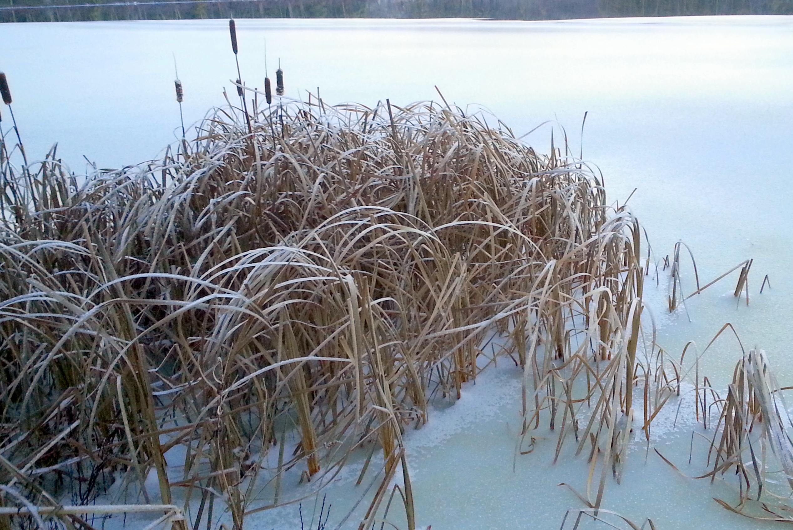 5. Cattails