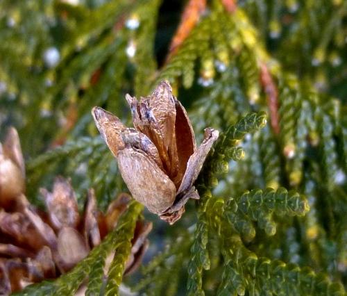 5. Cedar Seed Cone