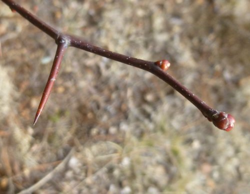 5. Hawthorn Thorn