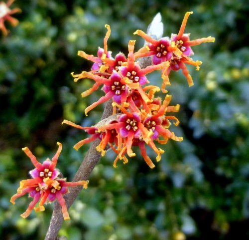 6. Orange Witch Hazel